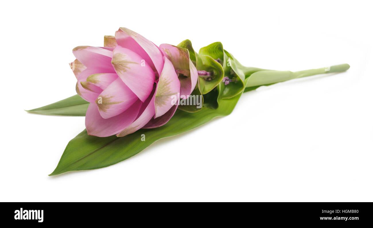 Curcuma fiore isolato su sfondo bianco Immagini Stock
