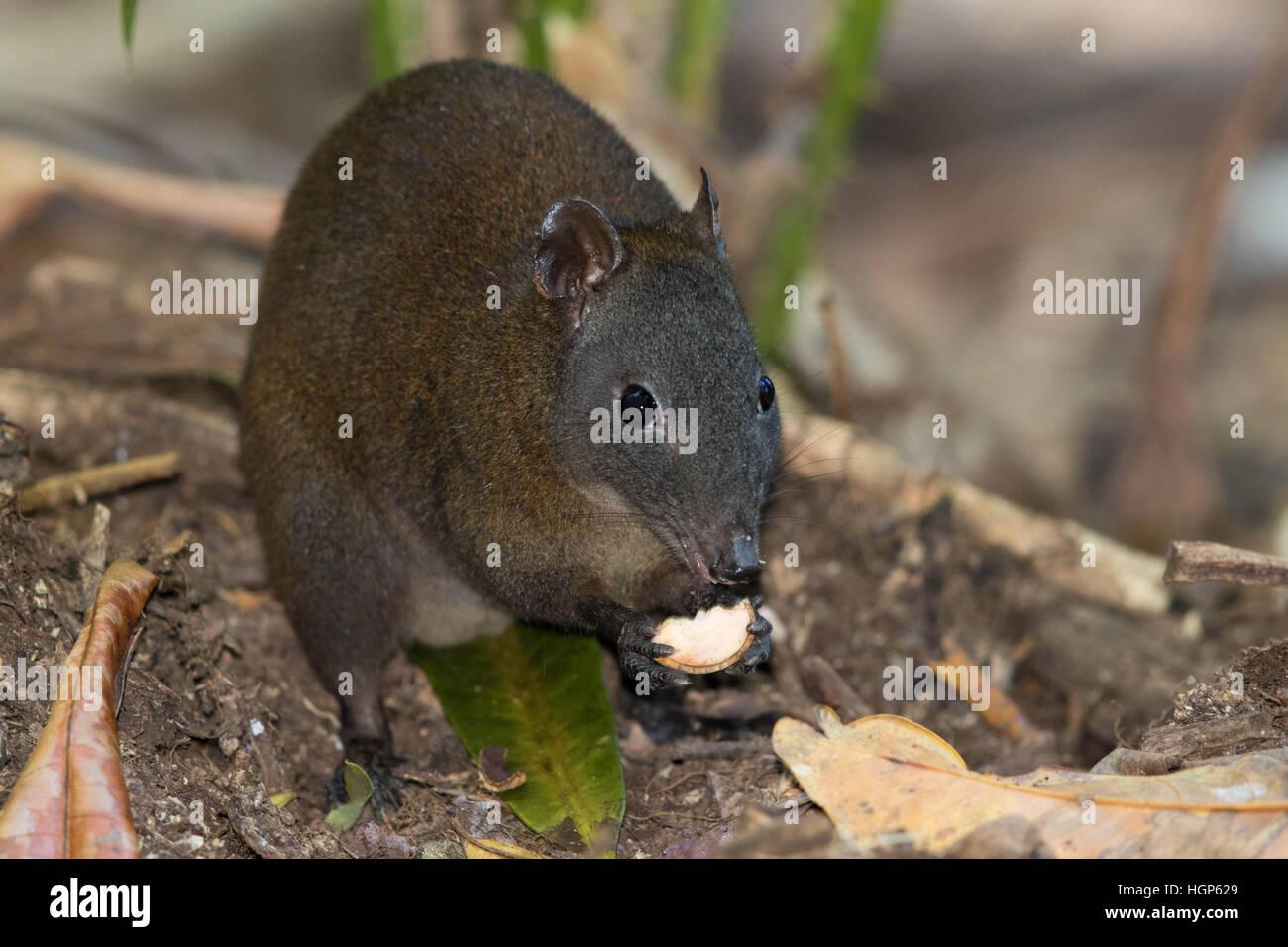 Muschiato Ratto canguro (Hypsiprymnodon moschatus) Immagini Stock