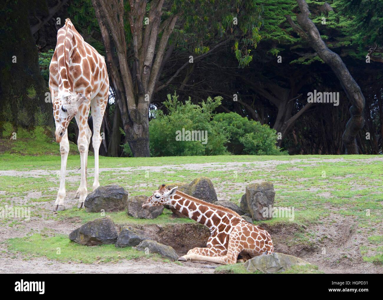 Madre giraffe piegarsi a guardare il bambino sul terreno, incoraggiando i giovani ad alzarsi, erba verde, rocce Immagini Stock