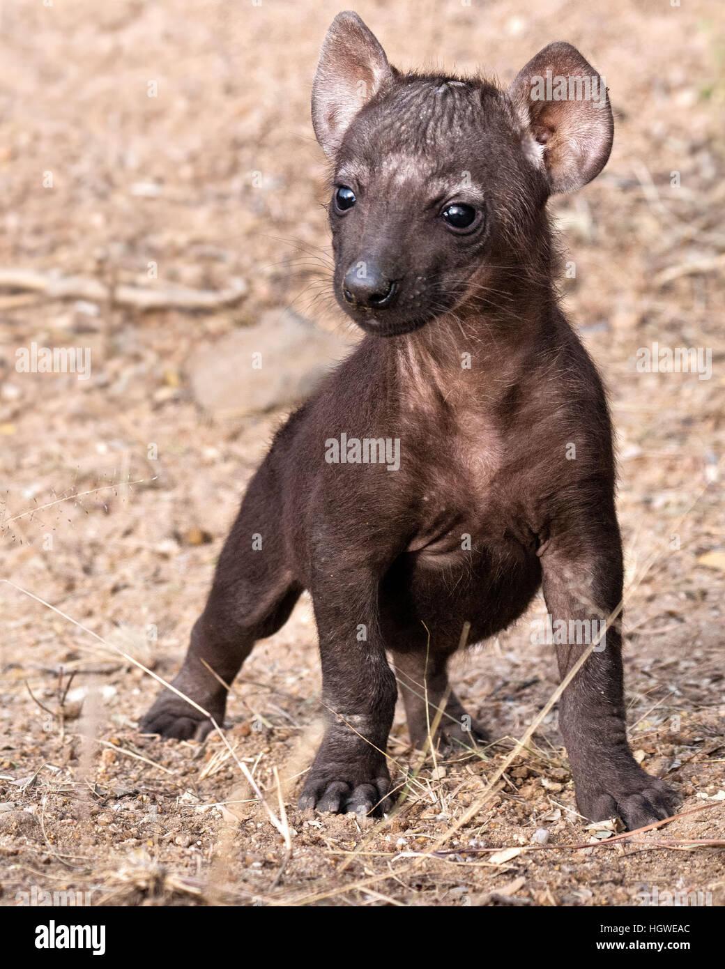Unico iena cub in piedi e guardando avviso in Mantobeni, Sud Africa Immagini Stock