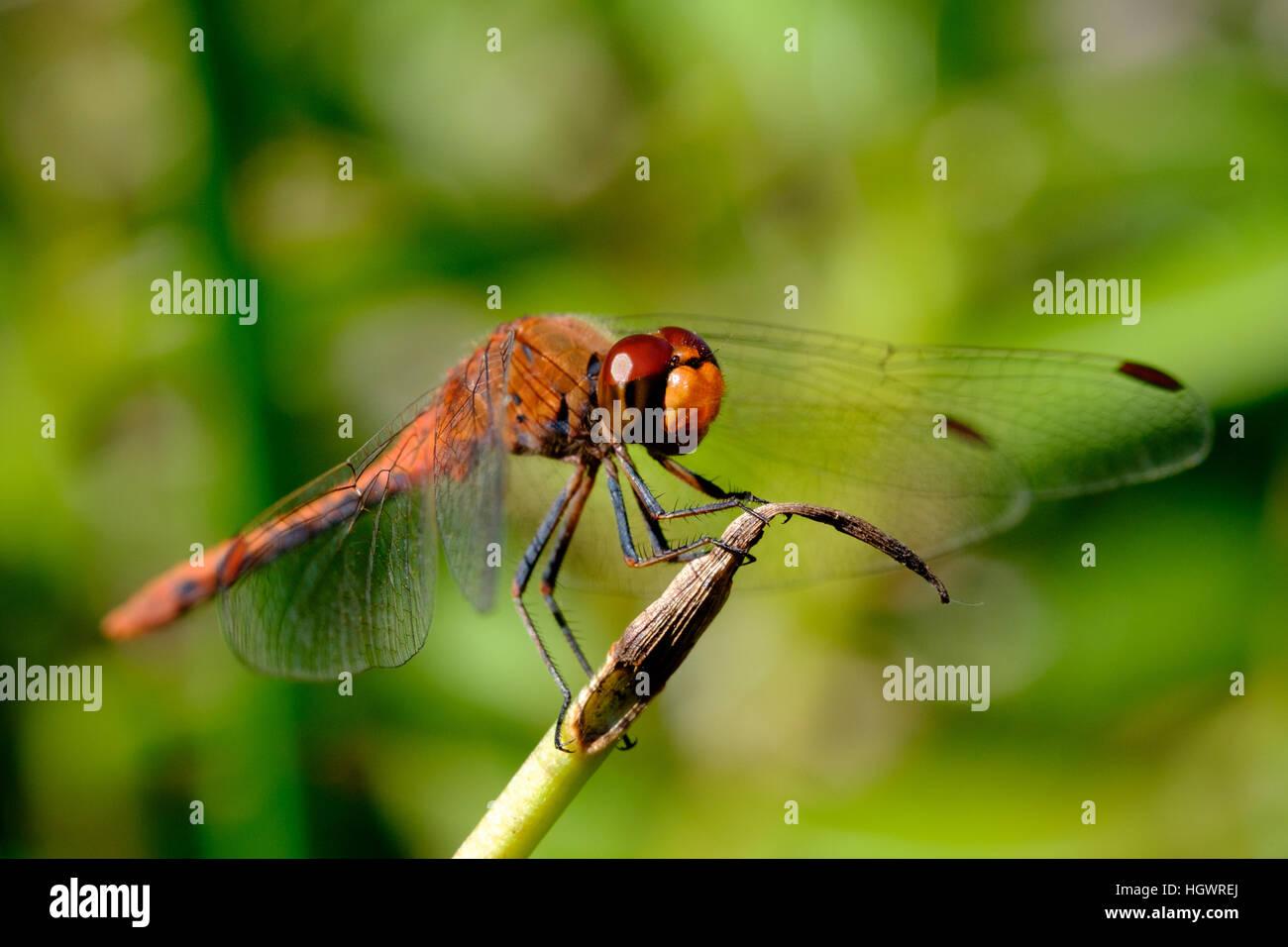 Chiudere il colpo di una libellula in appoggio sulla punta di un impianto di stelo con focus sull'occhio rosso Immagini Stock