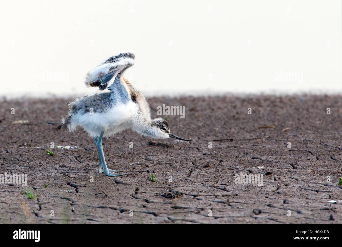 Allungamento alare pulcino avocetta Recurvirostra avosetta appena fuori del nido. Francese: Avocette élégante Immagini Stock