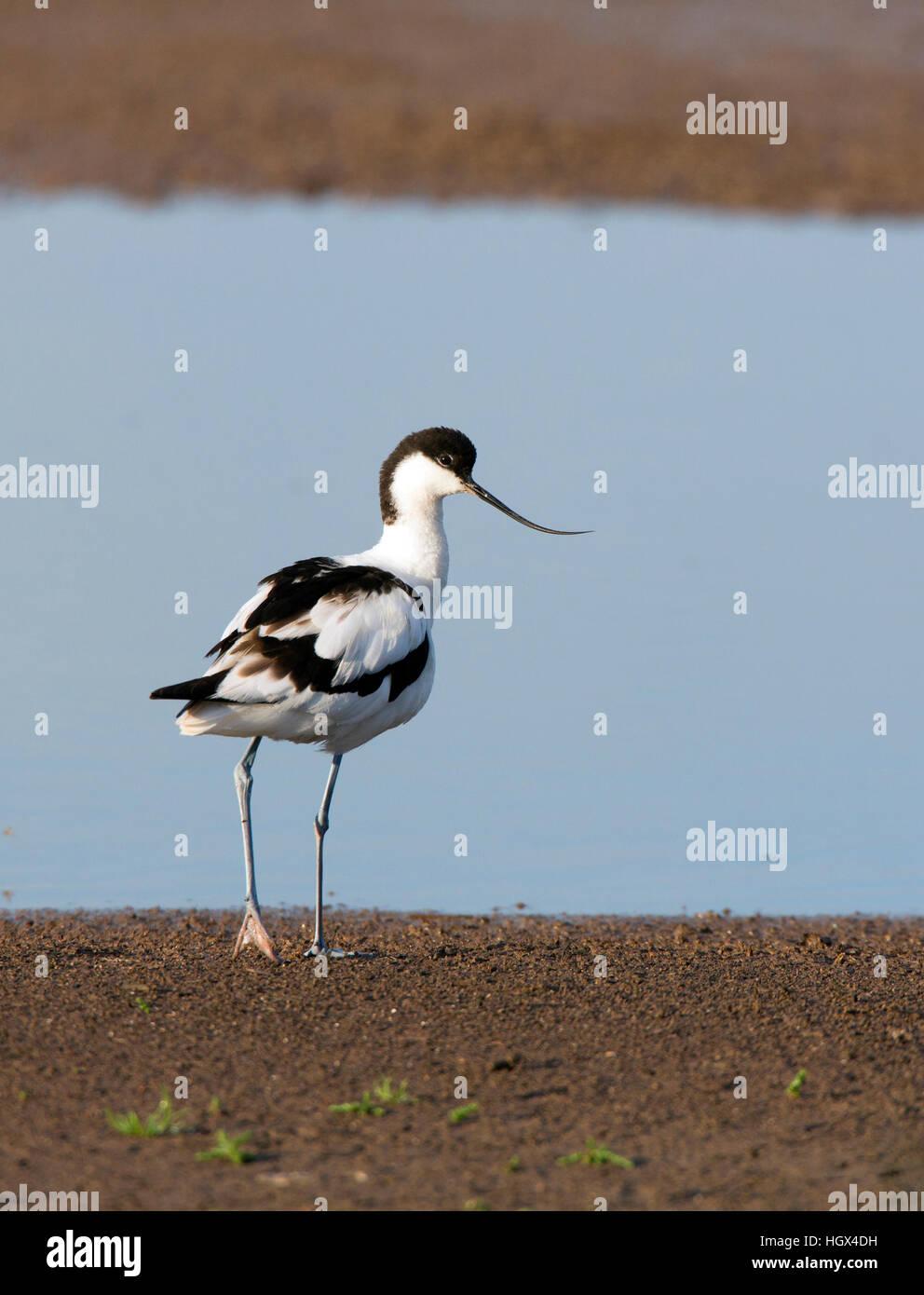 Avocetta Recurvirostra avosetta guardando indietro. . Avocette élégante. Säbelschnäbler. Avoceta Immagini Stock