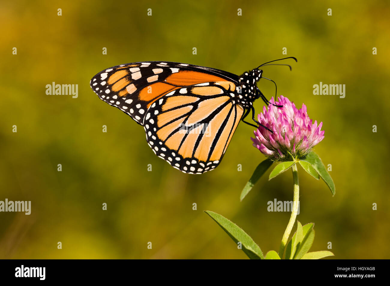 Una farfalla monarca, Danaus plexippus, sul chiodo di garofano in Grafton, Massachusetts. Immagini Stock