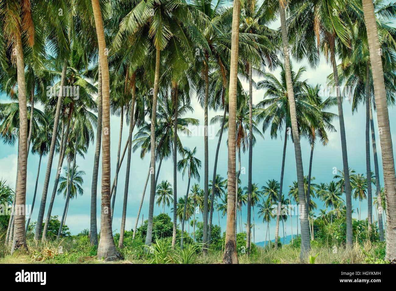 Palme da cocco sulla spiaggia tropicale di Koh Samui, Thailandia Immagini Stock