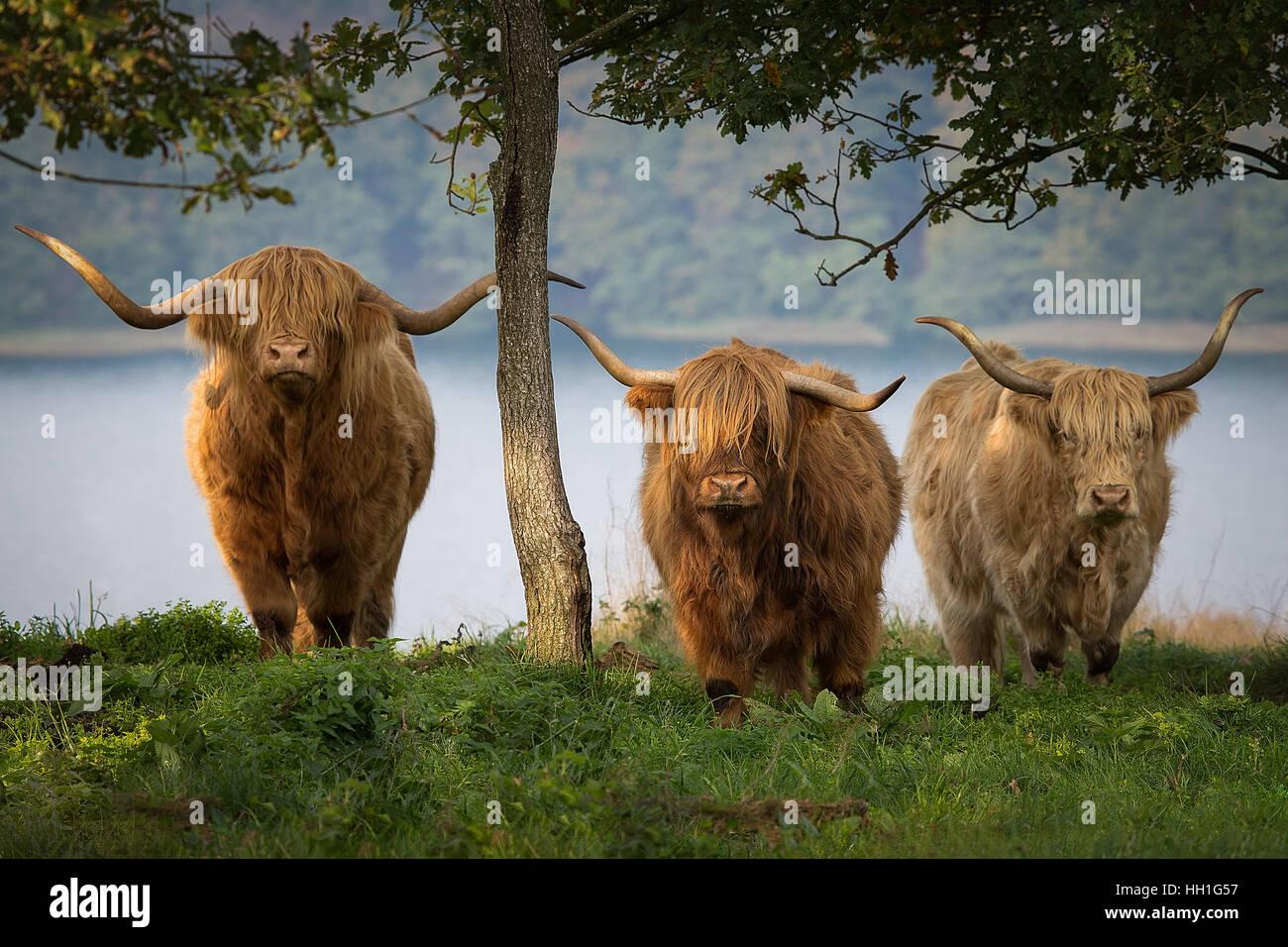 Highland il bestiame nelle colline Immagini Stock