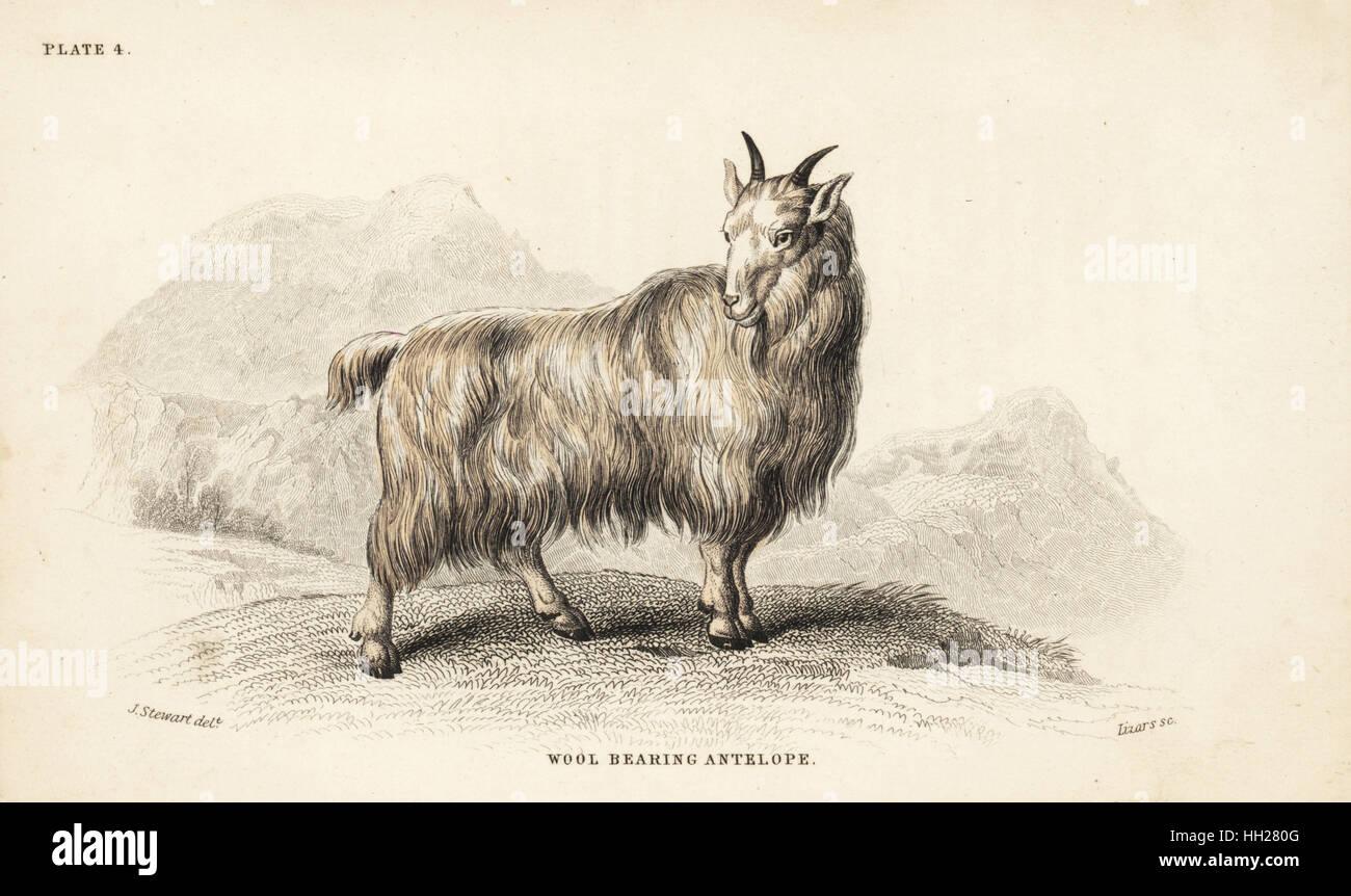 Rocky Mountain capra, Oreamnos americanus (lana-cuscinetto, antilope Antilope lanigera). Acciaio Handcolored incisione Immagini Stock