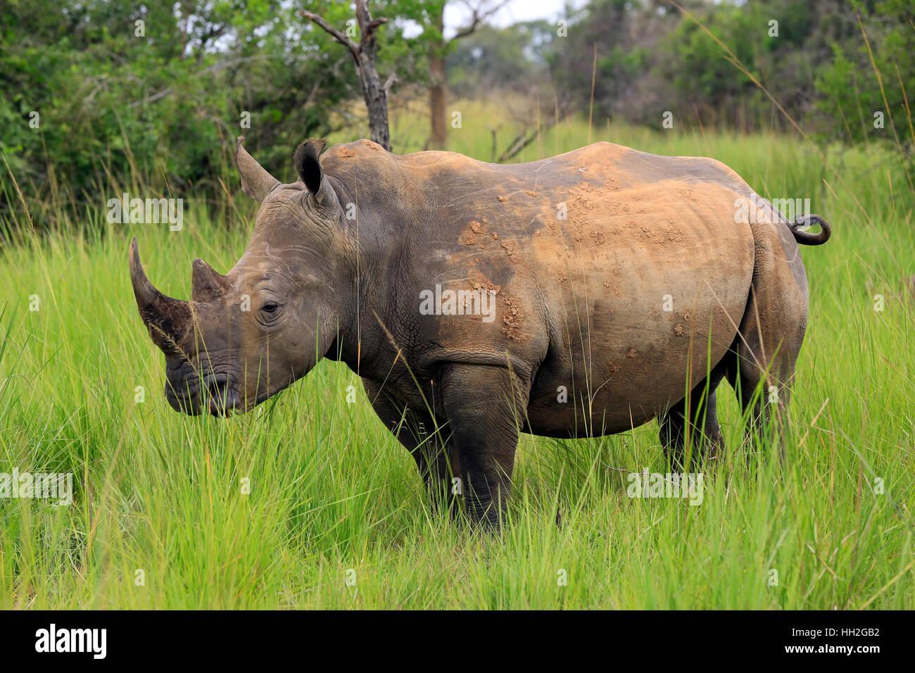 White Rhino (Ceratotherium simum). Rhino Trekking in Ziwa santuario di Rhino, Uganda Immagini Stock