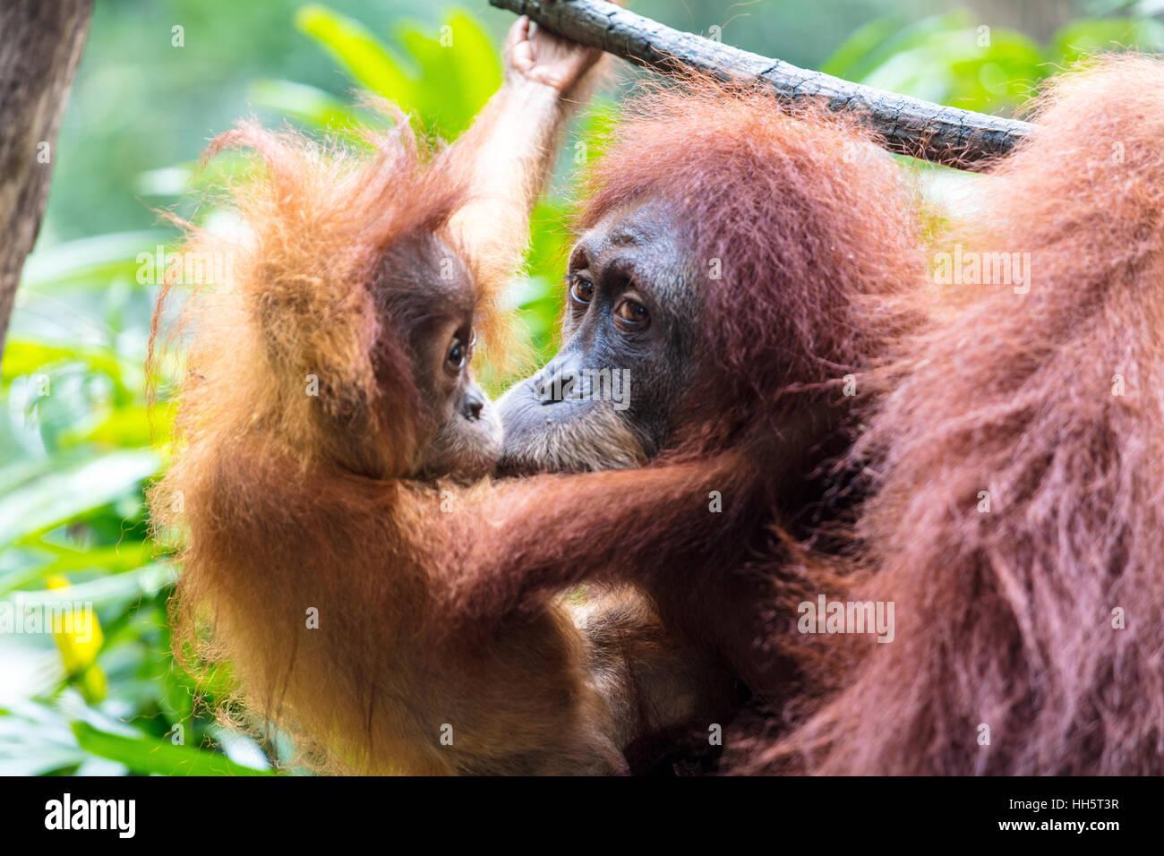 Madre con bambino orangutan Immagini Stock