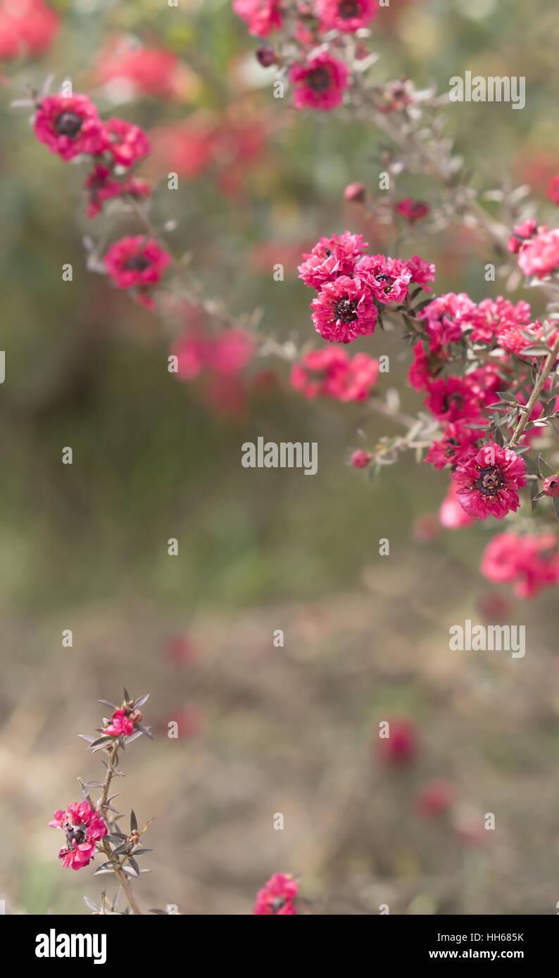 Fiori di colore rosa su sfondo cordoglio per simpatia biglietto di auguri per la morte funerali o tragedia Immagini Stock