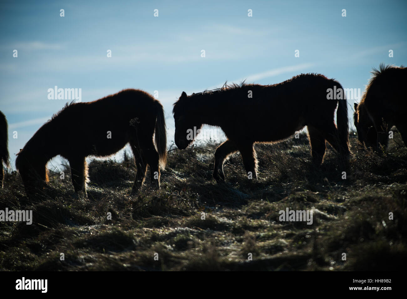 I pony si stagliano contro il sole invernale in una fredda giornata a Cissbury Ring nel South Downs National Park, Immagini Stock