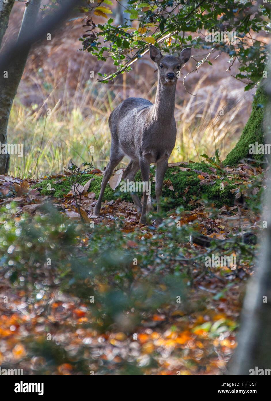 Autunno in boschi con foglie sul terreno e alert giovane cervo guardando Immagini Stock