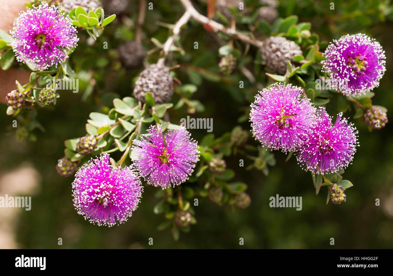 lowest price 9a47d f3d15 Il Callistemon (scovolino da bottiglia Tree) fiori sono ...