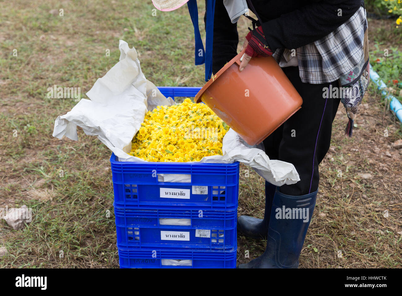 Chiang Mai, Thailandia - Novembre 28, 2016: l'agricoltore non identificato la mietitura crisantemo fiore per la produzione di tè in fattoria Maejo in Chiang Mai Thailandia Foto Stock