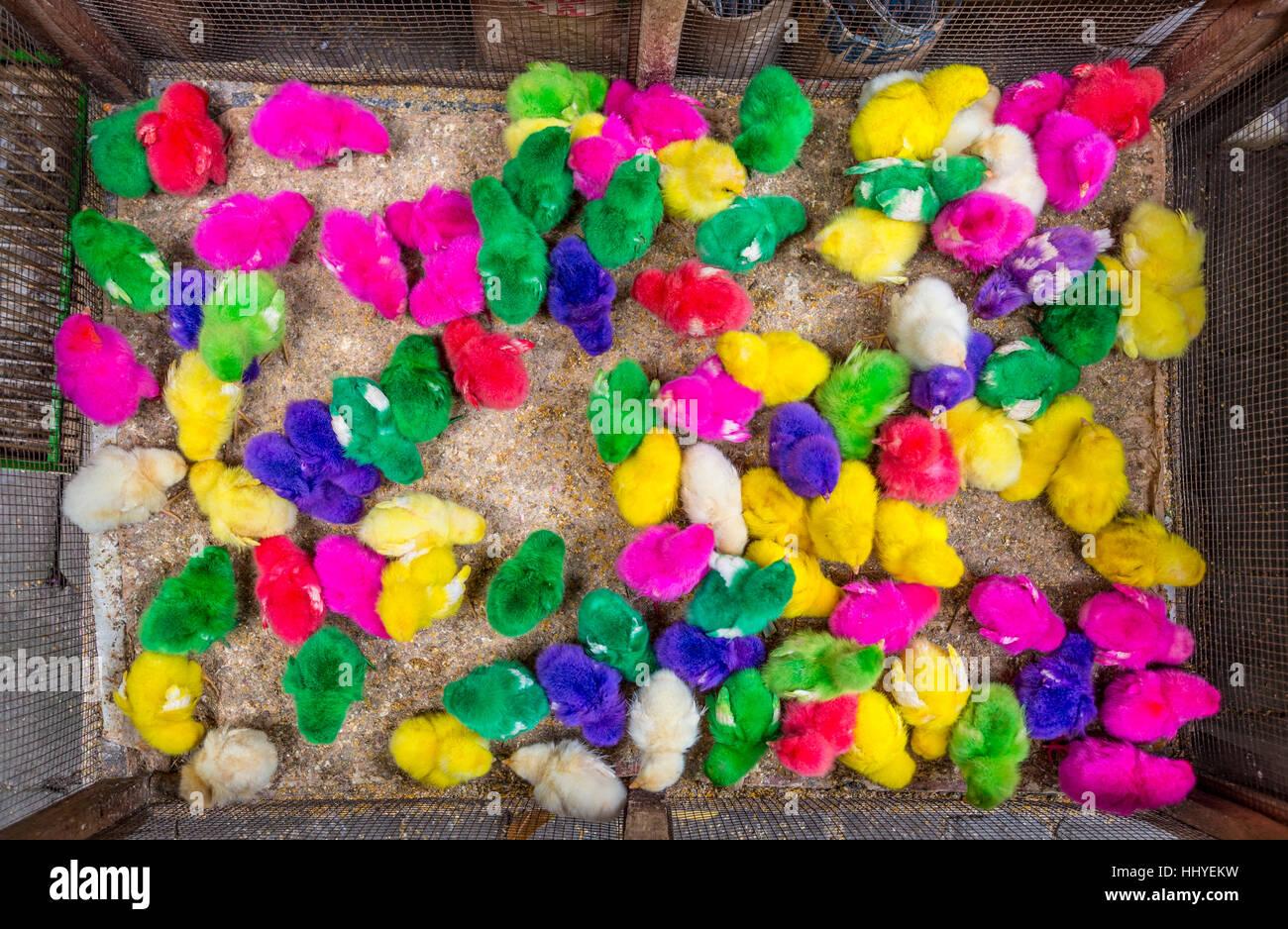 Tinte colorate pulcini, poco i polli, il mercato degli uccelli, Yogyakarta, Java, Indonesia Immagini Stock