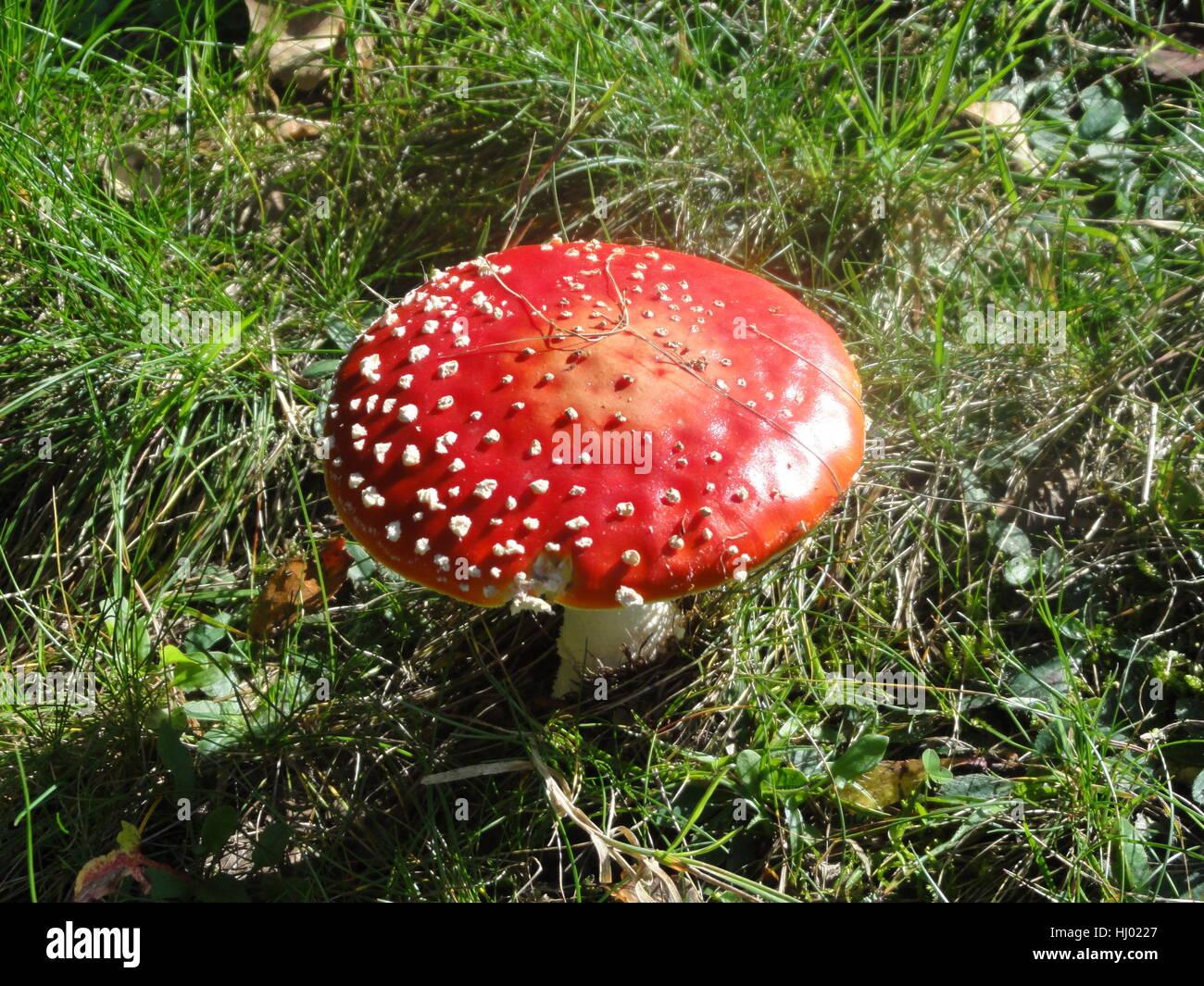 Bella, beauteously, Nizza, fly agaric, ingannevole, prato, foresta, tossico, Immagini Stock