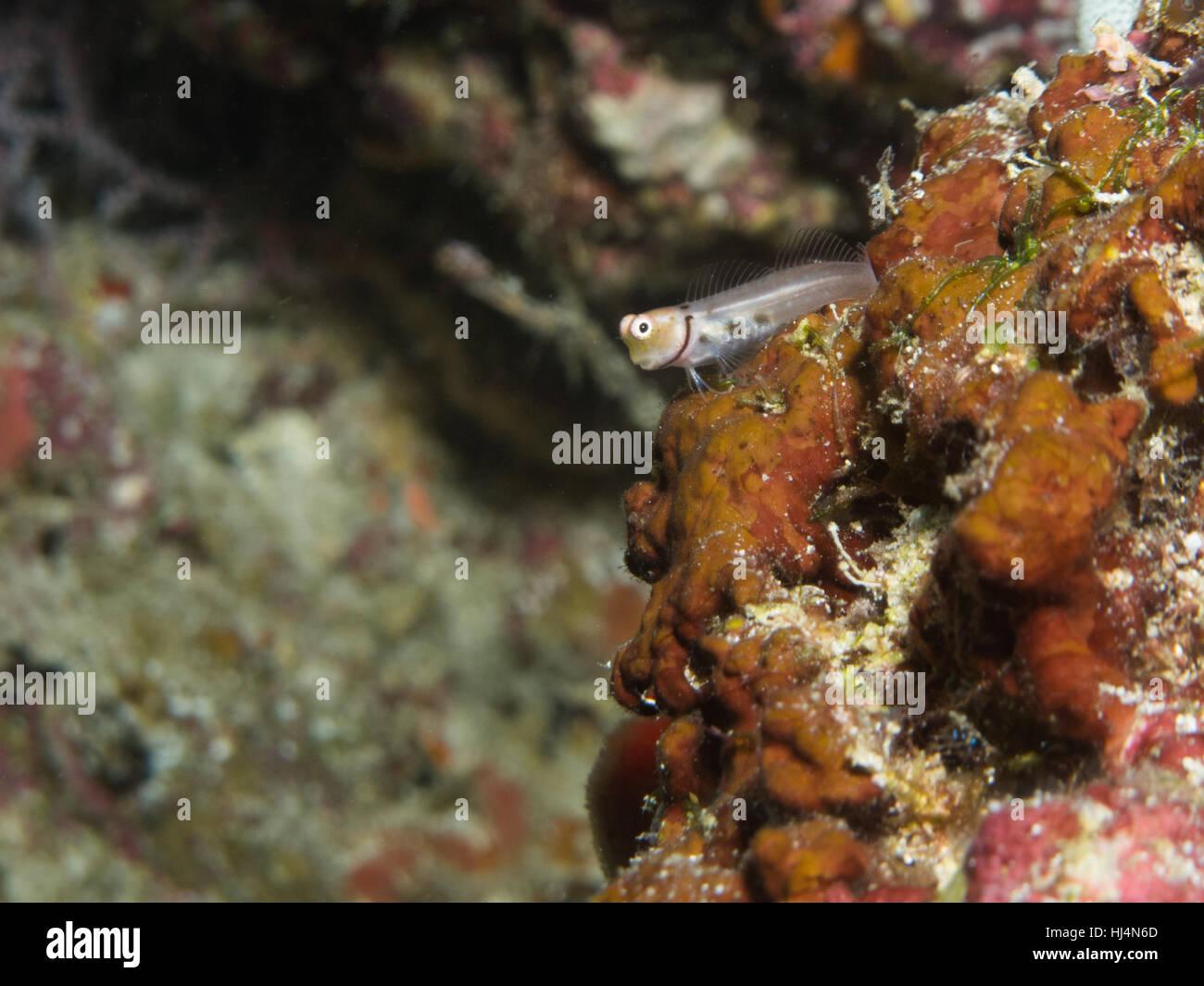 Un piccolo pesce si appoggia su una coperta di alghe corallo. Immagini Stock