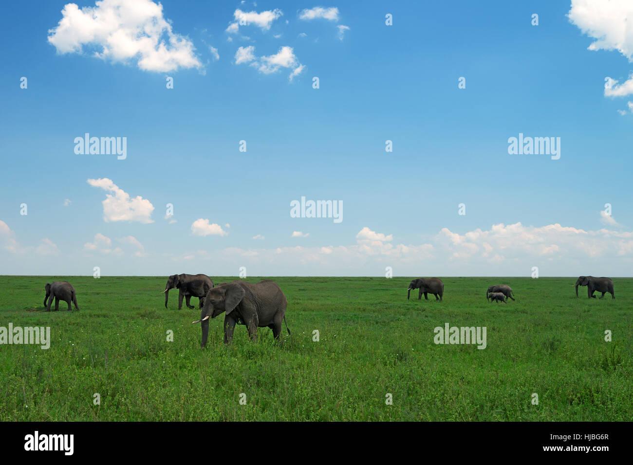 Gruppo di elefanti africani nella savana Immagini Stock