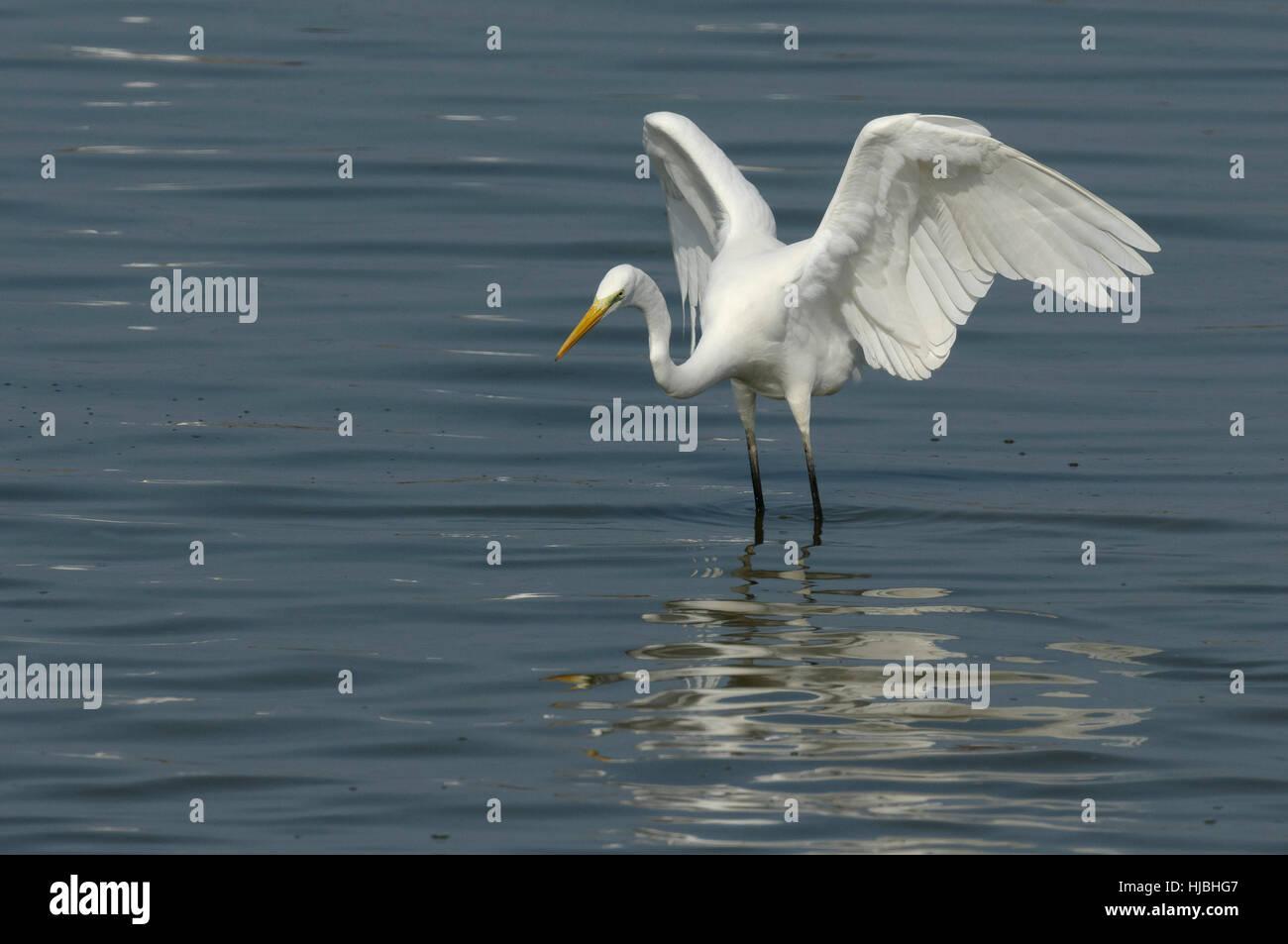 Grande garzetta (Egretta alba) caccia ai pesci in laguna costiera, su Israele per la costa mediterranea. Immagini Stock