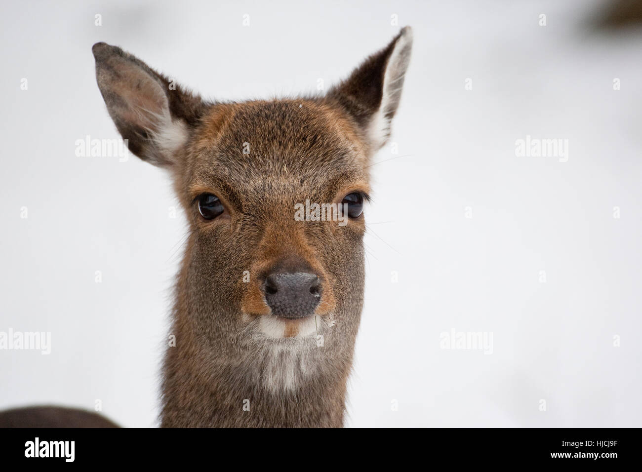 Sika, Sika-Hirsch, Sikahirsch, Sikawild, Sika-Wild, Jungtier, Cervus nippon, cervi sika Immagini Stock