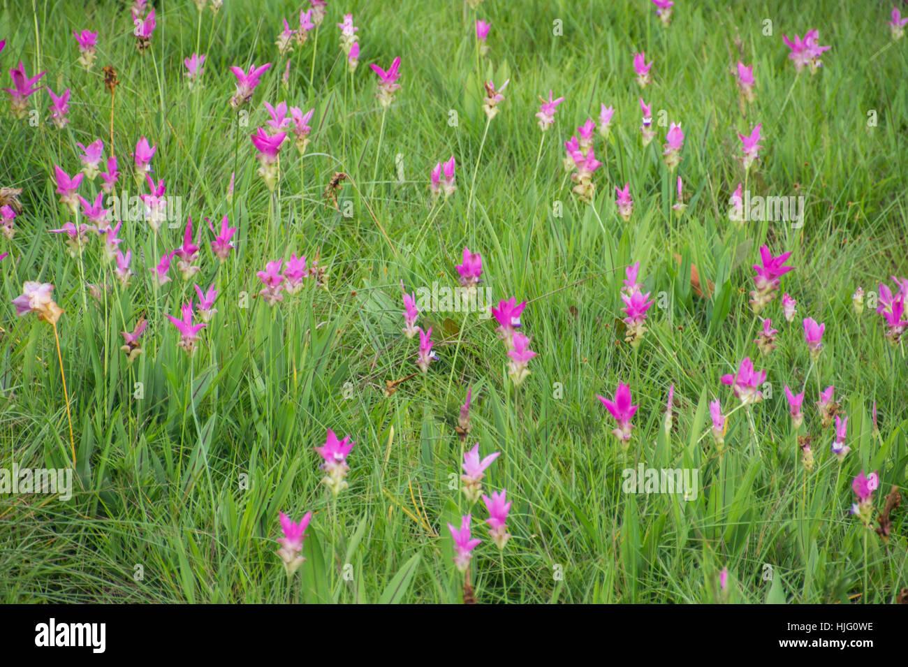 Rosa curcuma alismatifolia o il Siam tulip nel campo. Immagini Stock