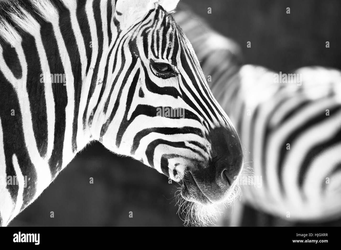 Zebra print wallpaper immagini zebra print wallpaper fotos stock
