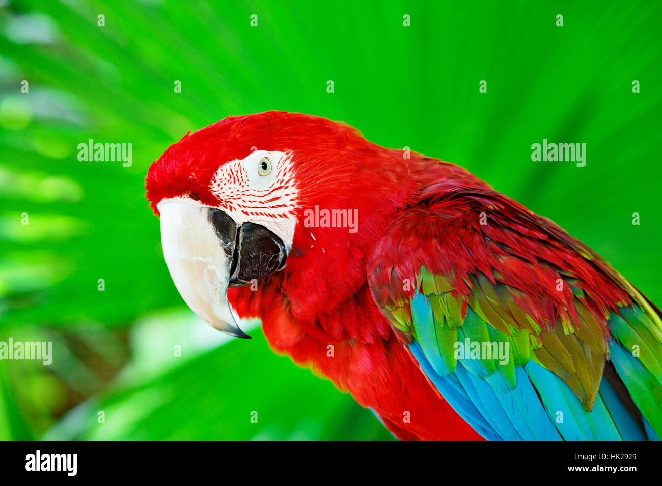 Ritratto di red macaw pappagallo contro la giungla. Testa di pappagallo su sfondo verde. La natura, la fauna selvatica Immagini Stock