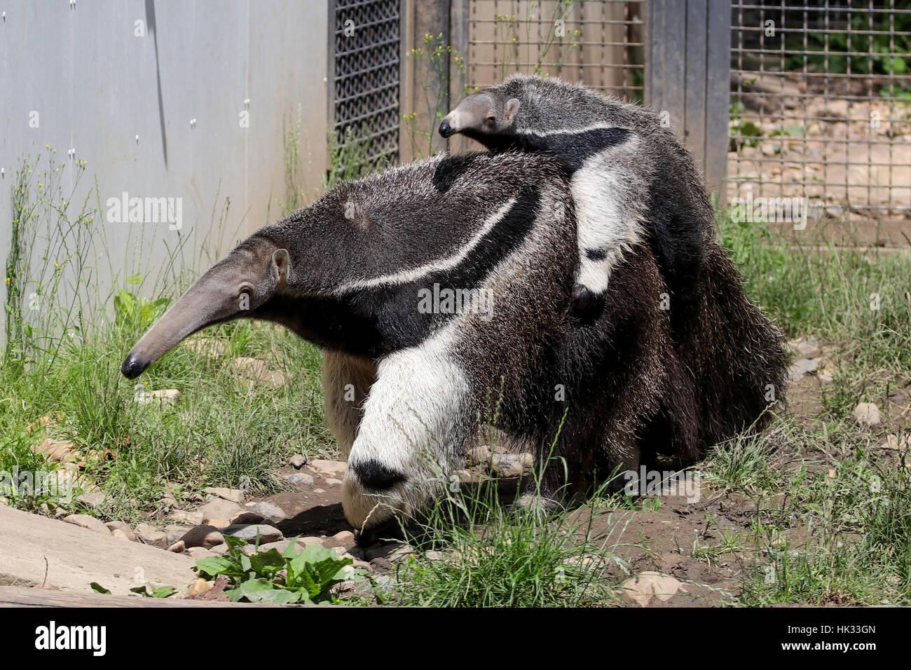 Stock Photo - Giant Anteater portando un bambino sul retro alla ricerca di cibo (Myrmecophaga Tridactyla) Immagini Stock