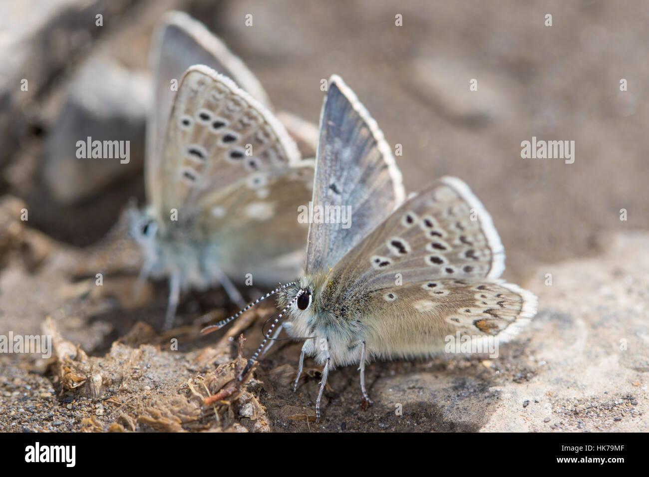 Coppia di Glandon blu (Plebejus glandon) farfalle alimentazione su minerali dal terreno umido Immagini Stock
