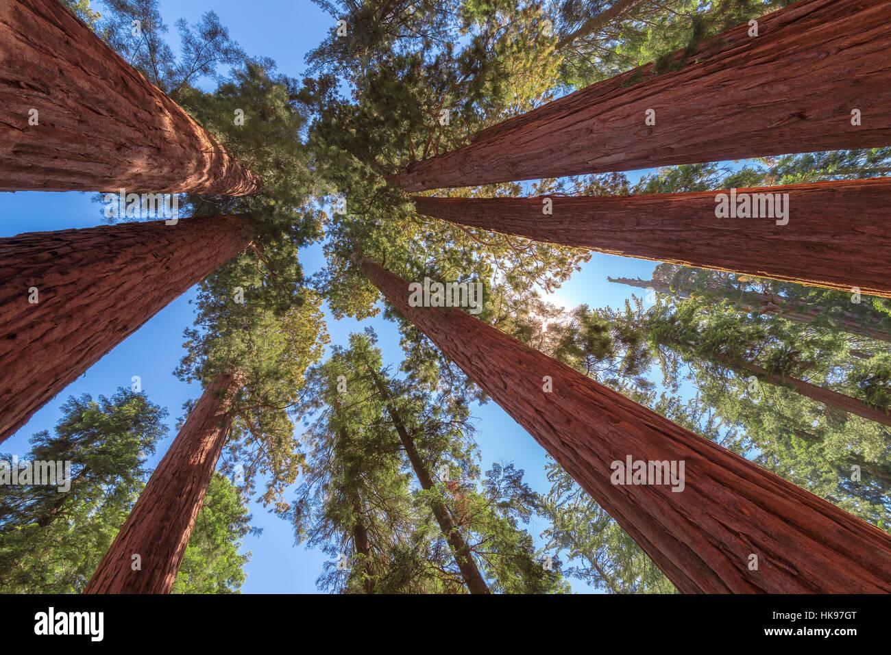 Gigantesco albero di sequoia closeup nel Parco Nazionale di Sequoia Immagini Stock