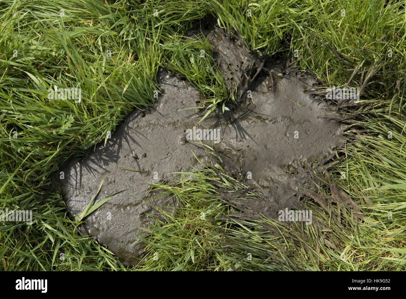 Un freschi di vacca che cola pat da vacche che pascolano sulla molla di giovani erba, Berkshire, può Foto Stock
