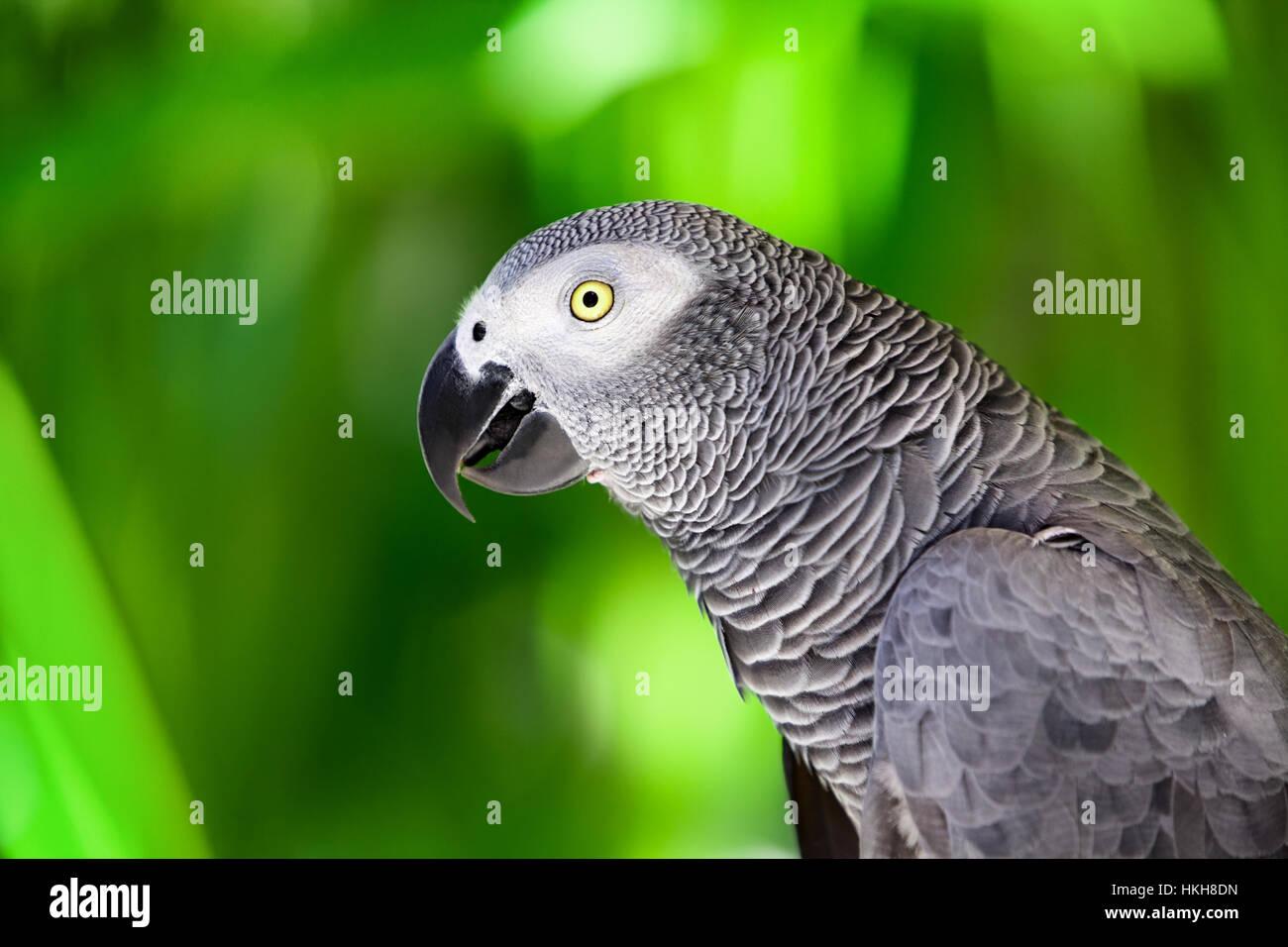 Pappagallo grigio africano contro la giungla. Wild pappagallo grigio testa su sfondo verde. La fauna selvatica e Immagini Stock