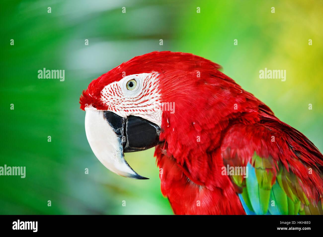 Ritratto di red macaw pappagallo contro la giungla. Testa di pappagallo su sfondo verde. La natura, la fauna selvatica Foto Stock