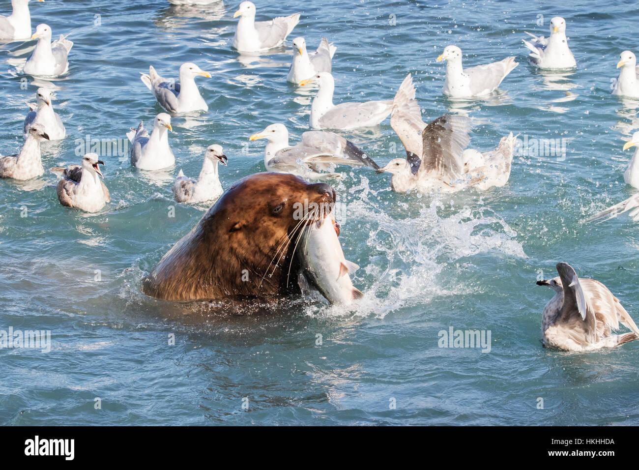 Un leone di mare nuota nel fish weir area e afferra un rosa salmone (Oncorhynchus gorbuscha), Allison punto, fuori Immagini Stock