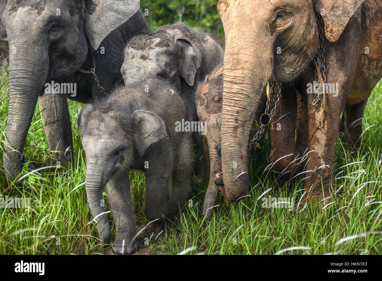 Un branco di elefanti di Sumatra passeggiate sui pascoli. © Rinaldo Sumayku Immagini Stock