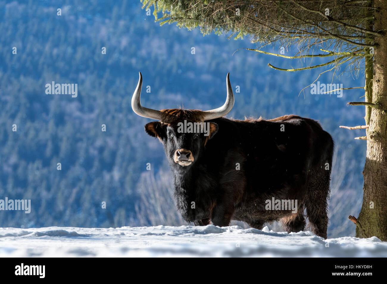 Bovini di Heck (Bos domesticus) bull sotto agli alberi nella neve in inverno. Tentativo di razza torna l'estinto Immagini Stock