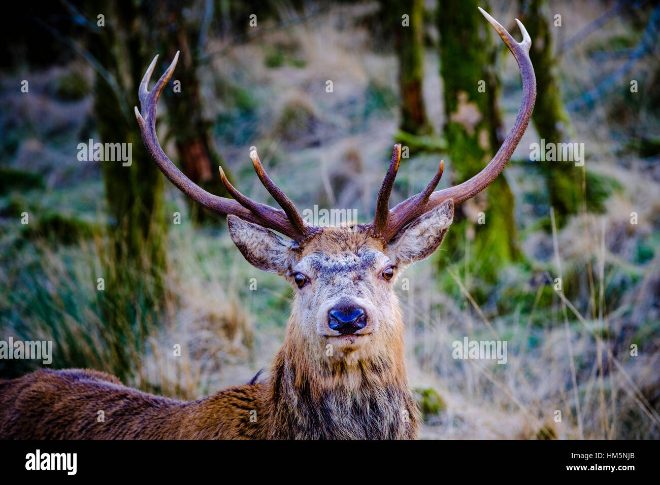 Red Deer cervo a Glen Etive foresta, Highlands della Scozia in inverno Immagini Stock