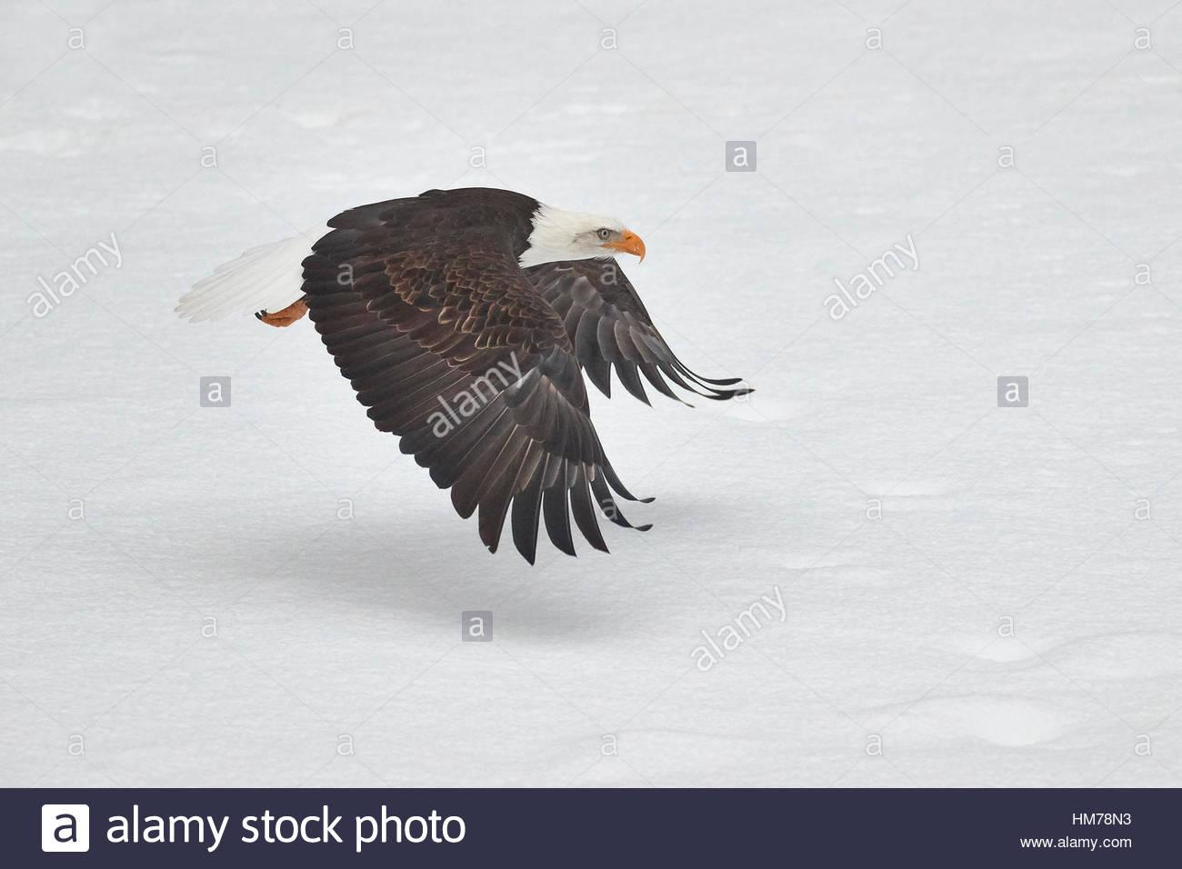 Un aquila calva (Haliaeetus leucocephalus) vola basso sopra una coperta di neve ghiaia bar nel fiume Nooksack in Immagini Stock