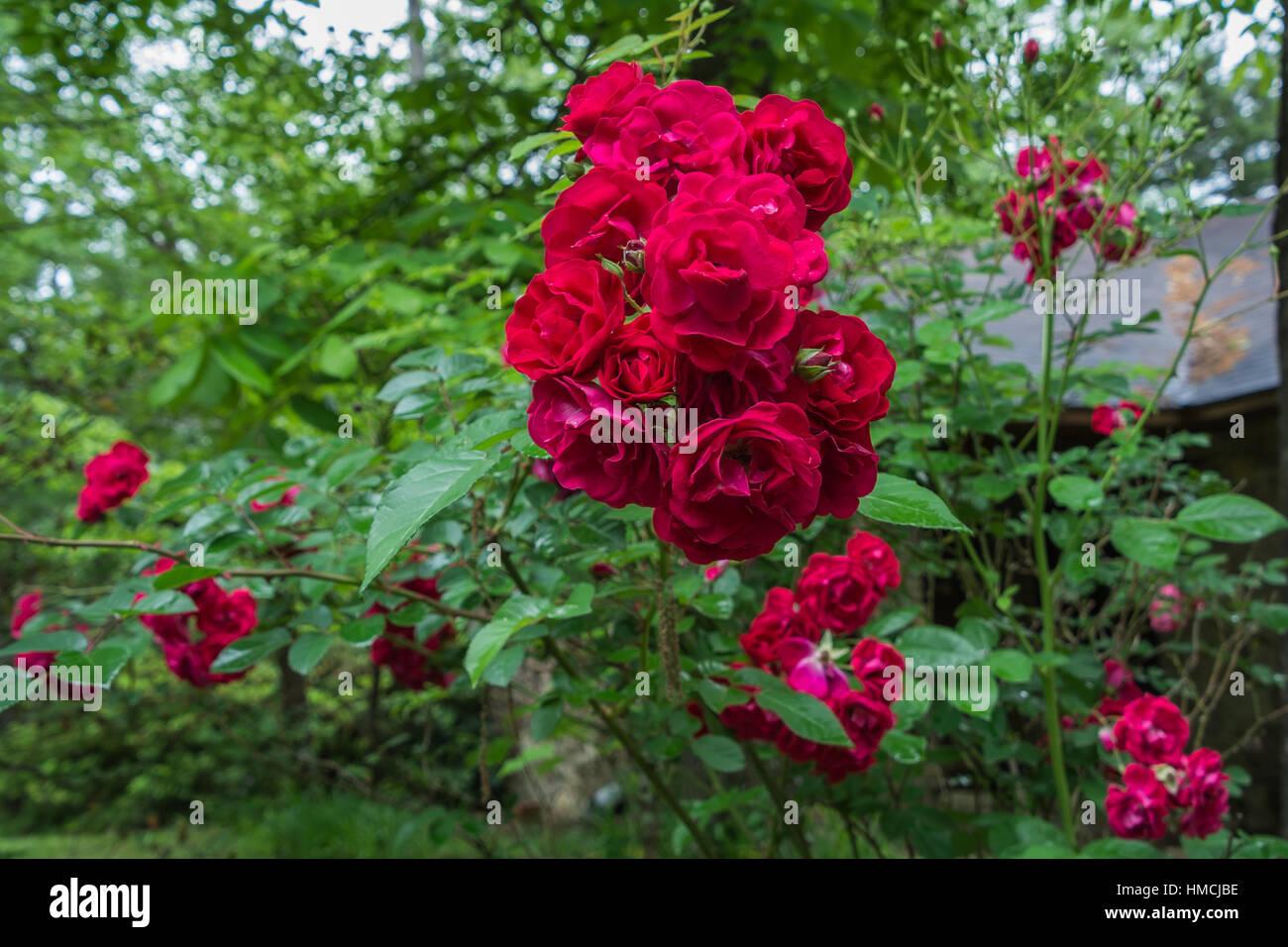Vicino La Cattura Di Un Grande Mazzo Di Rose Rosse Sulla Boccola. Una Rosa  è Woody Perenne Fioritura Delle Piante Del Genere Rosa, Nella Famiglia  Delle ...