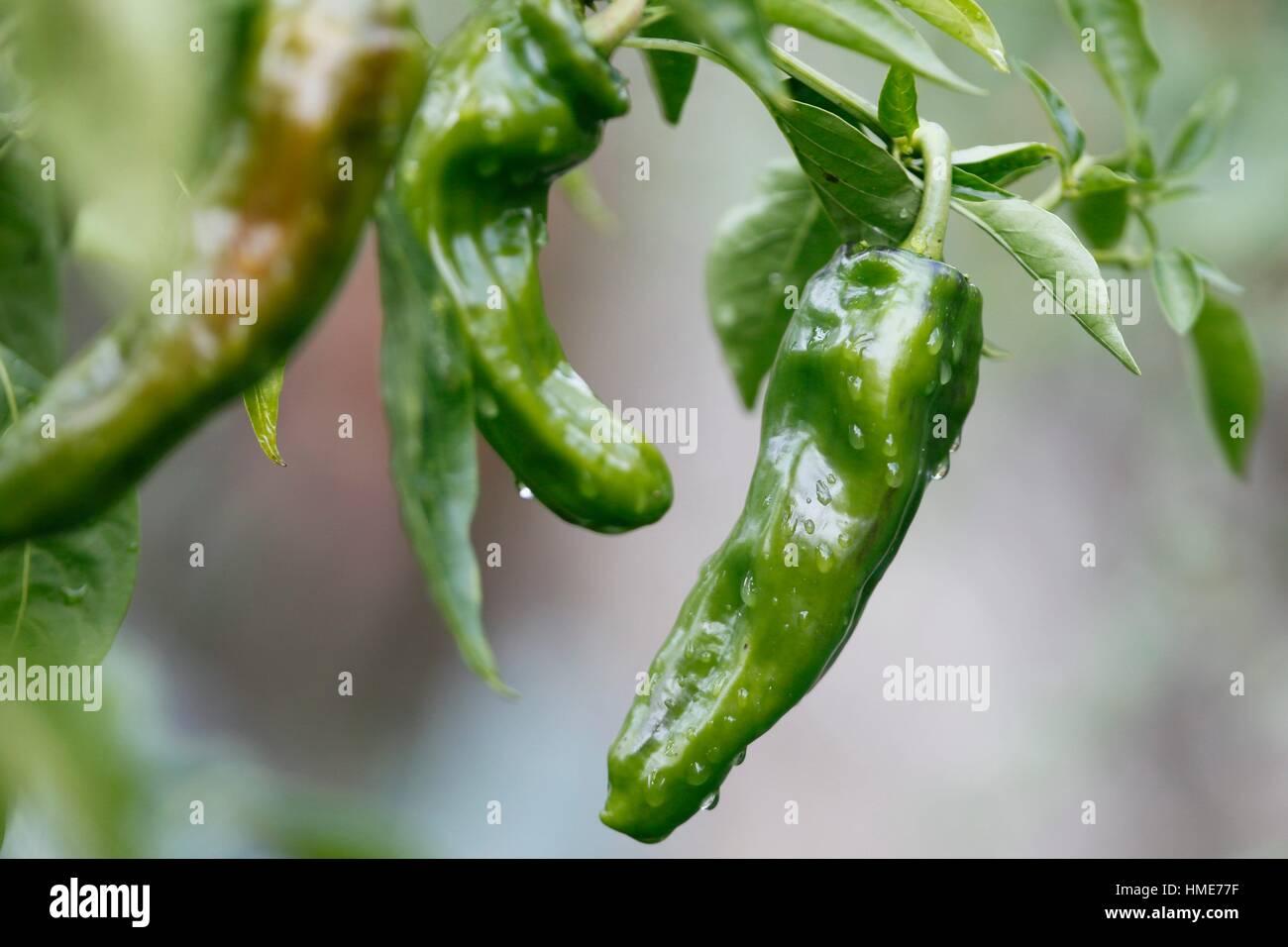 Il pepe è uno degli ortaggi più comunemente utilizzato quando cocinar essenziale.ingrediente di molti Immagini Stock