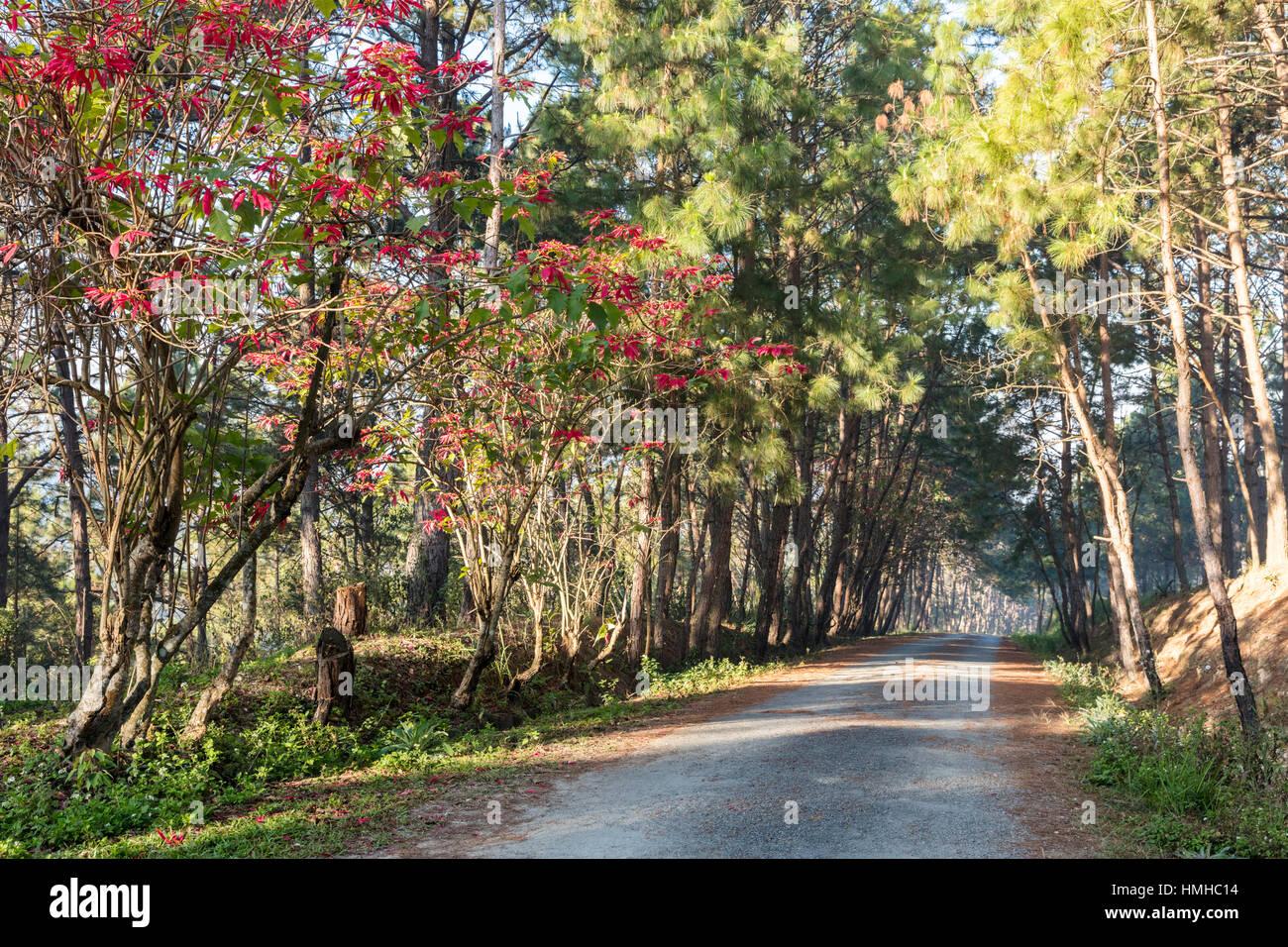 Albero strada ombreggiata con Poinsettias nelle colline sopra Phonsevan, Laos Foto Stock