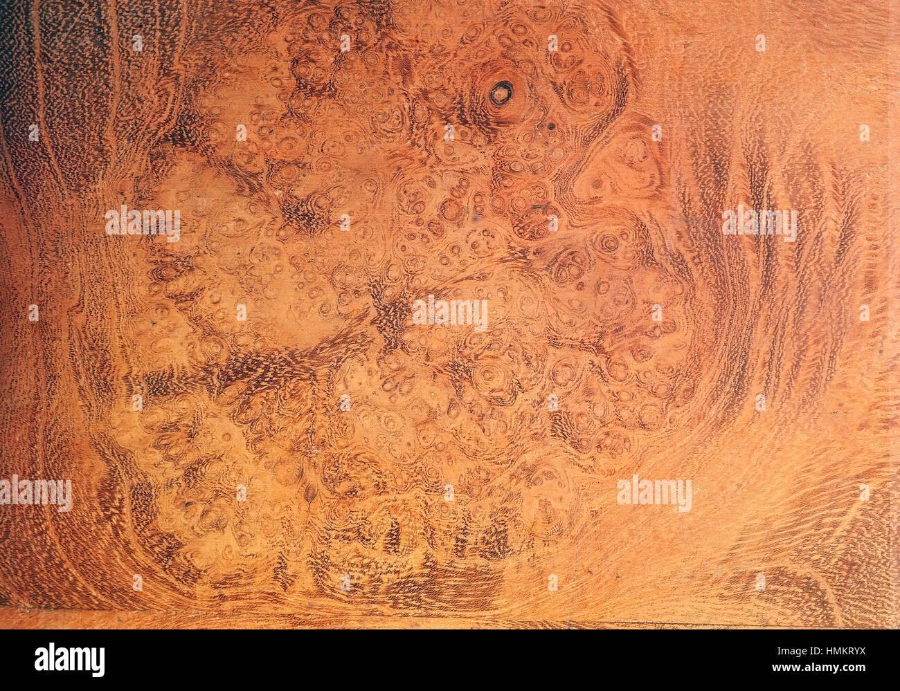 Robinia o False Acacia legno root (Robinia pseudoacacia), Fabaceae ...