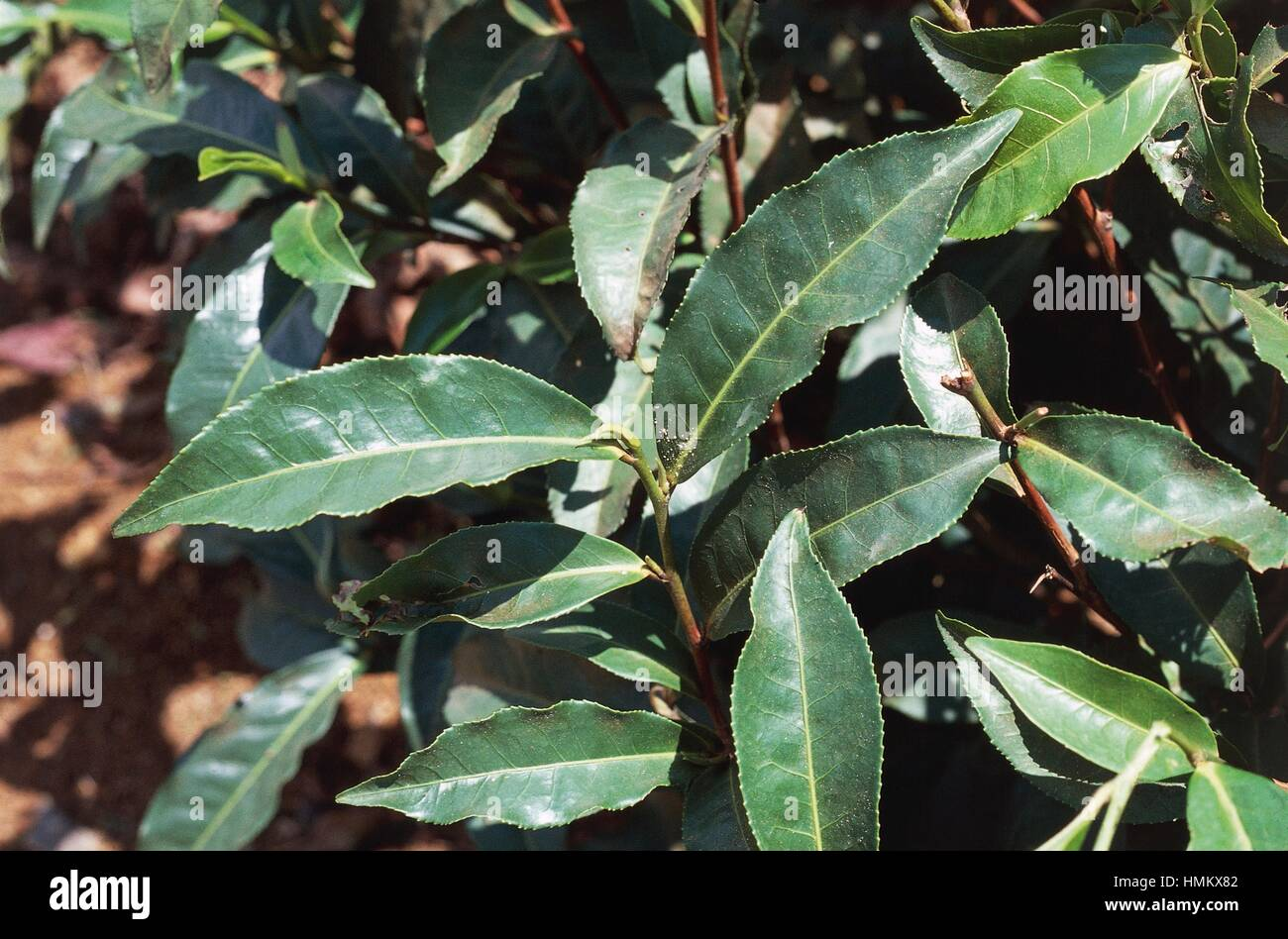 Il tè cinese (Camelia sinensis), Theaceae. Immagini Stock