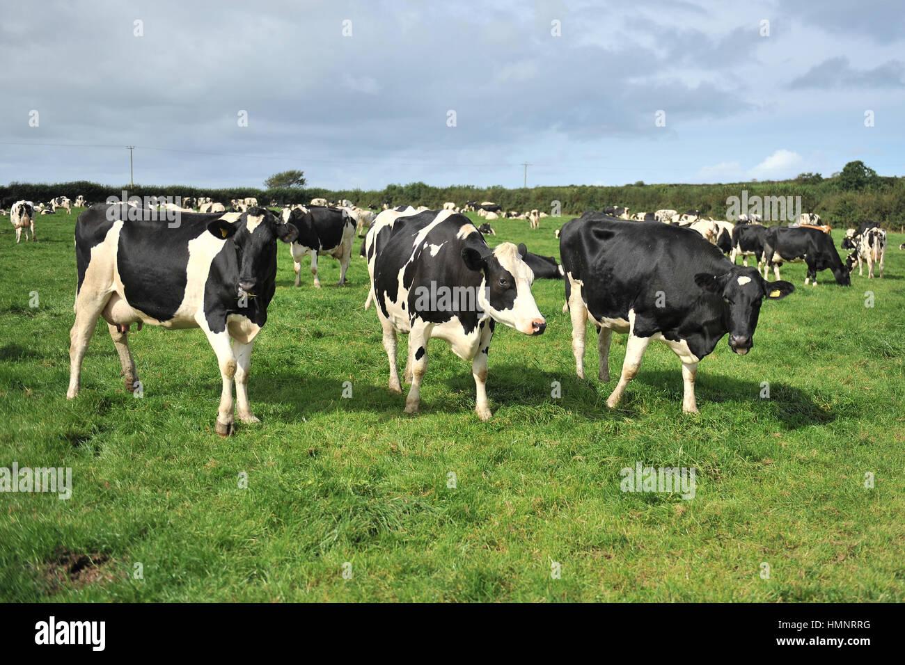 Allevamento di bovini di razza Frisona vacche da latte Immagini Stock