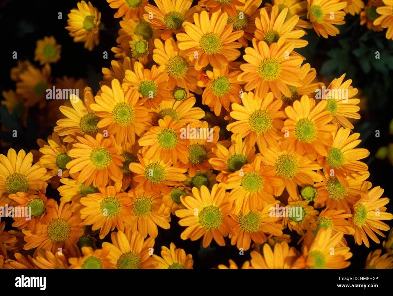 Mamme (crisantemo Allegro arancione), Asteraceae. Immagini Stock