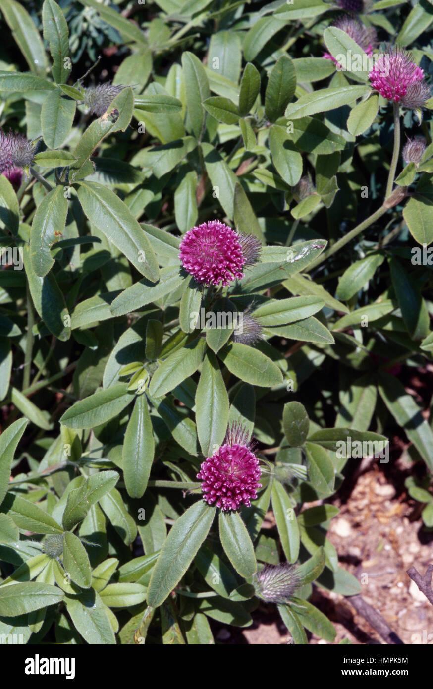 Viola-globo di trifoglio rosso (Trifolium alpestre), Fabaceae. Immagini Stock