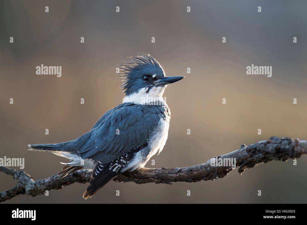 Un maschio Belted Kingfisher posatoi su un ramo con un orgoglioso pongono come sole del tardo pomeriggio crea una Immagini Stock