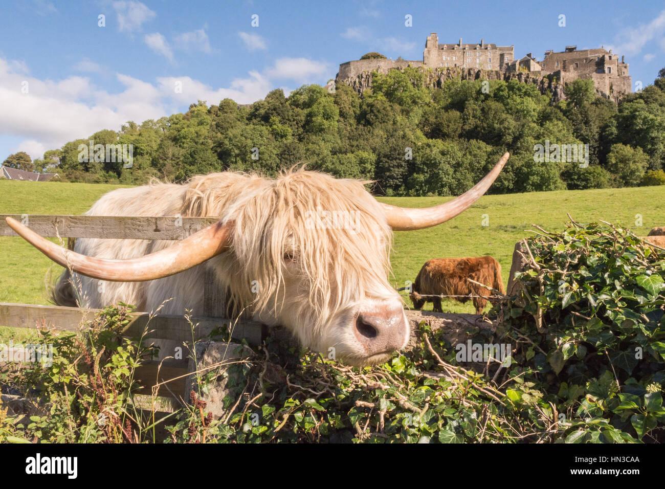 Il Castello di Stirling, bovini highland,highland mucca, Stirling, Scozia Immagini Stock