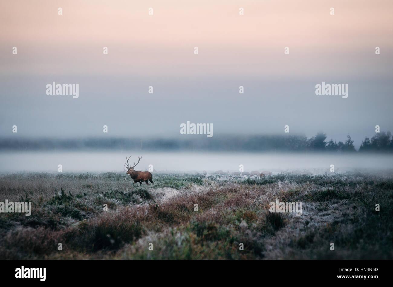 Bellissimi cervi stag sul campo nevoso vicino a foggy brumoso paesaggio forestale in autunno in Bielorussia. Immagini Stock