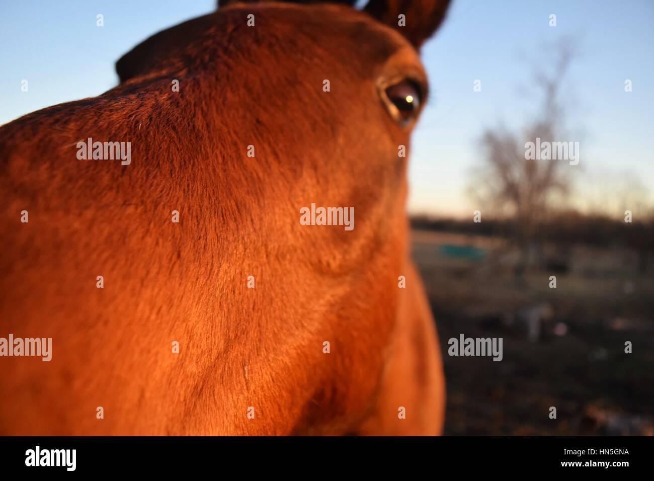I cavalli domestici Immagini Stock